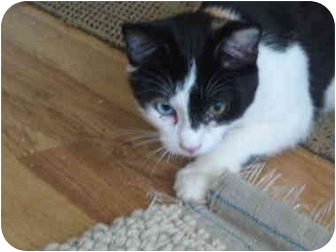 Calico Kitten for adoption in Amarillo, Texas - Munchkin