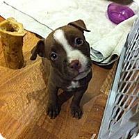 Adopt A Pet :: Nova - Sunderland, MA