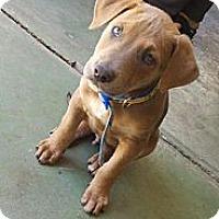 Adopt A Pet :: Archie - Bakersfield, CA