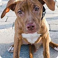 Adopt A Pet :: Ruby Red - Reisterstown, MD