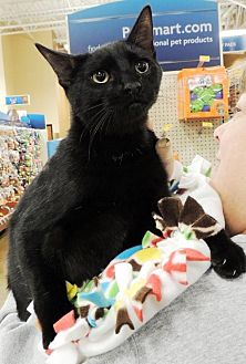 Domestic Shorthair Cat for adoption in Horn Lake, Mississippi - Dewey