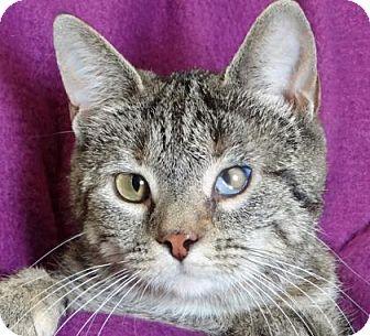 Domestic Shorthair Kitten for adoption in Renfrew, Pennsylvania - Rochelle