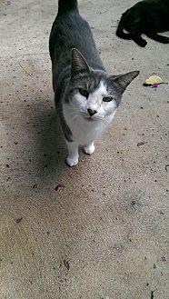 Domestic Shorthair Cat for adoption in Naples, Florida - Elder