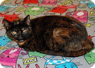 American Shorthair Cat for adoption in Salem, West Virginia - Sissy