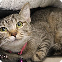 Domestic Shorthair Cat for adoption in Bradenton, Florida - Chase