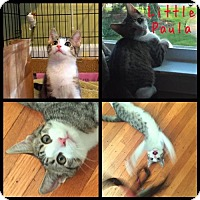 Domestic Shorthair Cat for adoption in Greenville, Delaware - Paula (FCID# 07/21/2016 - 33 Fairfax/Wilm. Foster)