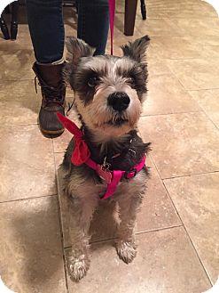 Schnauzer (Miniature) Mix Dog for adoption in Wethersfield, Connecticut - Nena