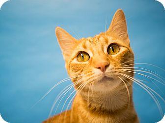 Domestic Shorthair Cat for adoption in Houston, Texas - Tangerine