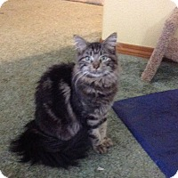 Maine Coon Cat for adoption in Eureka, California - Kestrel