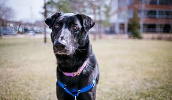 German Shepherd Dog Mix Dog for adoption in Eden Prairie, Minnesota - ** Squooshy D161108