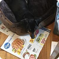 Adopt A Pet :: Tootsie - Garden City, MI