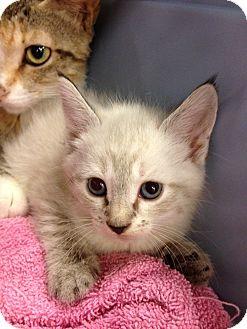 Siamese Kitten for adoption in Fort Lauderdale, Florida - Rose