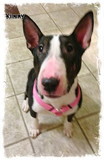 Bull Terrier Dog for adoption in Sachse, Texas - Kimmy