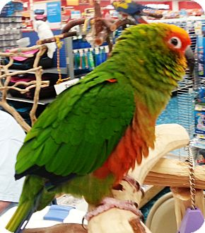 Conure for adoption in Lenexa, Kansas - Gaya