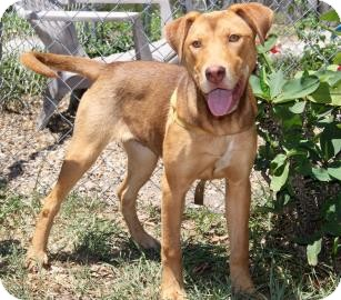 Retriever (Unknown Type) Mix Dog for adoption in Bradenton, Florida - Louise