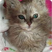 Adopt A Pet :: Kitten - Maine Coon - Westfield, MA
