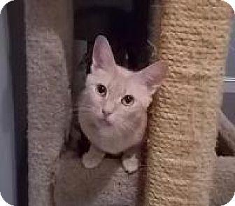 Domestic Shorthair Cat for adoption in Centreville, Virginia - nubit