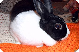 Dutch Mix for adoption in Maple Shade, New Jersey - Phoebe