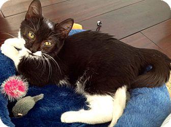 Domestic Mediumhair Kitten for adoption in Monrovia, California - Bentley