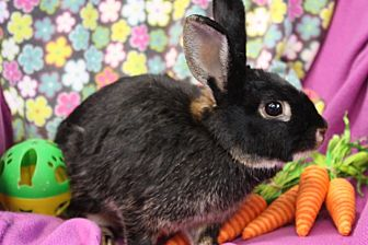 Silver Marten for adoption in Erie, Pennsylvania - Ruby