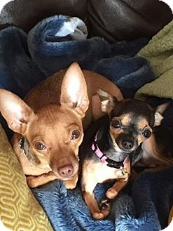 Chihuahua/Tea Cup Poodle Mix Dog for adoption in Astoria, New York - Maka & Mia