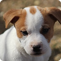 Boxer Mix Puppy for adoption in Glastonbury, Connecticut - Monte~adopted!