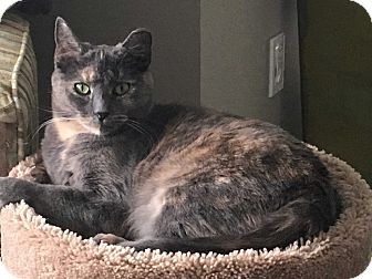 Domestic Shorthair Cat for adoption in Staten Island, New York - Jeanine
