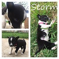 Adopt A Pet :: Storm - White Settlement, TX