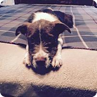 Adopt A Pet :: THEODORE 'BEAVER' BARKLEY - Waldron, AR