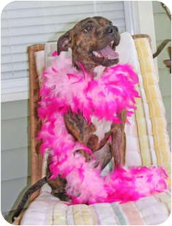 American Pit Bull Terrier/Pit Bull Terrier Mix Dog for adoption in Lutz, Florida - Mercy