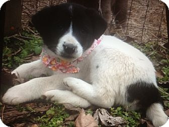 Border Collie Mix Puppy for adoption in Somers, Connecticut - Missy - such a beauty!