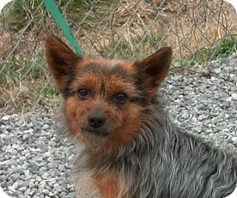 Yorkie, Yorkshire Terrier/Pomeranian Mix Dog for adoption in Harrisonburg, Virginia - Reagan (reduced $350)