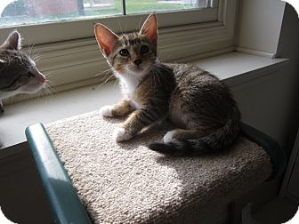 Abyssinian Kitten for adoption in Chesterfield Township, Michigan - Ella