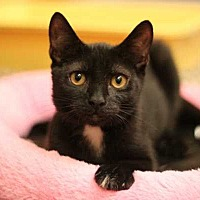 Domestic Shorthair Cat for adoption in Mebane, North Carolina - Ms. Kitty