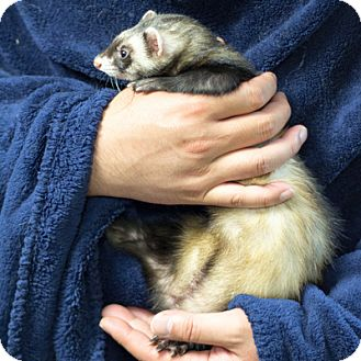 Ferret for adoption in Balch Springs, Texas - Kelli