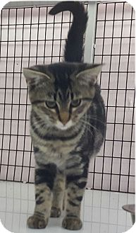 Domestic Shorthair Kitten for adoption in Maryville, Illinois - Kit Kat