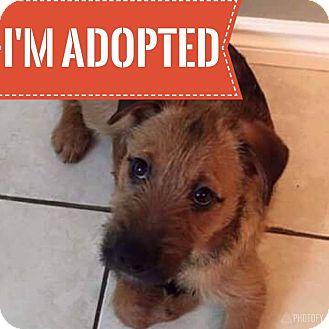 Irish Wolfhound Mix Puppy for adoption in Regina, Saskatchewan - Bridget