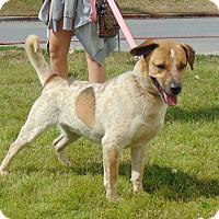 Adopt A Pet :: Bolt - Somers, CT