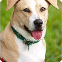 Adopt A Pet :: Labby - Key Biscayne, FL