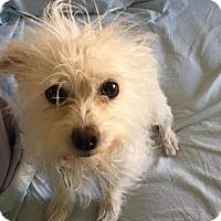 Adopt A Pet :: Prince - Las Vegas, NV