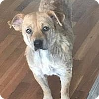 Labrador Retriever Mix Dog for adoption in New Smyrna Beach, Florida - Lucky***Hold***