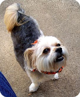 Yorkie, Yorkshire Terrier/Maltese Mix Dog for adoption in Indianapolis, Indiana - Ruby
