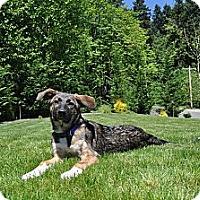 Adopt A Pet :: Chili - Redmond, WA