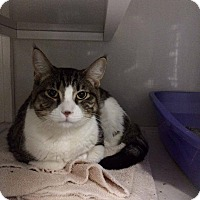 Domestic Shorthair Cat for adoption in La Grange Park, Illinois - Kassius