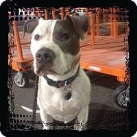 Pit Bull Terrier Mix Dog for adoption in Sacramento, California - Raider