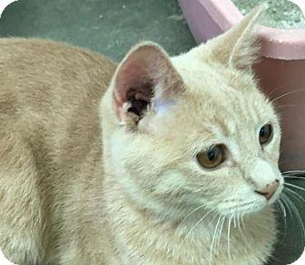 Domestic Shorthair Cat for adoption in Manteo, North Carolina - Felipe