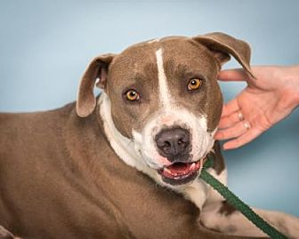 American Pit Bull Terrier Mix Dog for adoption in Santa Paula, California - Ash