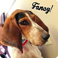 Adopt A Pet :: Fancy - PORTLAND, ME