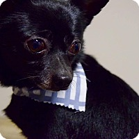 Adopt A Pet :: Bear - Manassas, VA