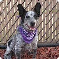 Adopt A Pet :: PEPSI - Norco, CA